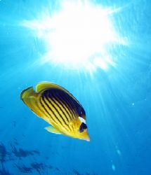 Striped butterfly fish and sunburst taken at Sharksbay wi... by Nikki Van Veelen